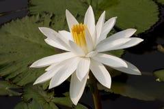 Witte lotusbloem in zonneschijn Stock Afbeeldingen