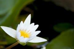 Witte lotusbloembloem stock fotografie