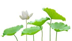 Witte lotusbloembloem Stock Afbeeldingen