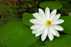 Witte lotusbloembloem Stock Foto's