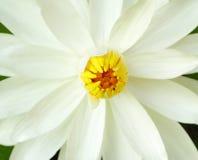 Witte lotusbloembloem Royalty-vrije Stock Afbeeldingen