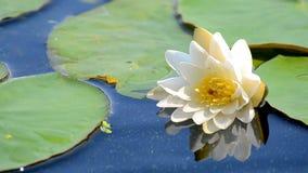 Witte lotusbloembloem. stock videobeelden