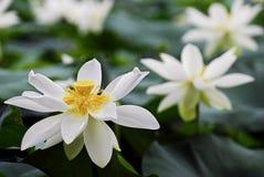 Witte lotusbloembloem Royalty-vrije Stock Afbeelding