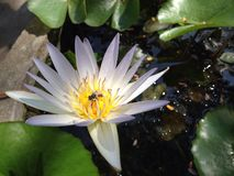 Witte lotusbloembloem Royalty-vrije Stock Foto's