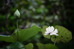Witte lotusbloembloem in de regen Royalty-vrije Stock Afbeeldingen