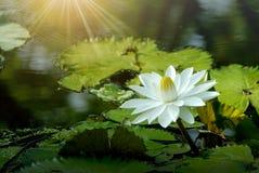 Witte lotusbloembloem in de vijver Royalty-vrije Stock Afbeeldingen