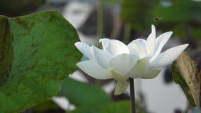 Witte lotusbloembloem die in wind blazen stock video