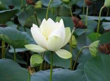 Witte lotusbloembloem en seedpods Royalty-vrije Stock Afbeelding