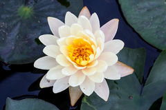 Witte lotusbloembloem met groen blad Stock Afbeeldingen