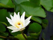 Witte lotusbloembloem op een oever van het meer Stock Foto