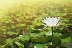 Witte lotusbloembloem tegen de groene bladerenachtergrond Stock Foto