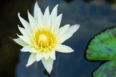 Witte lotusbloembloem in vijver Royalty-vrije Stock Afbeelding