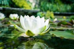 Witte lotusbloembloemen in een vijver Royalty-vrije Stock Afbeelding