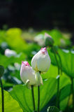Witte lotusbloemknoppen, Kyoto Japan Royalty-vrije Stock Fotografie