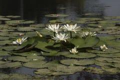 Witte lotuses Stock Foto's
