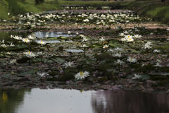 Witte lotuses Stock Foto