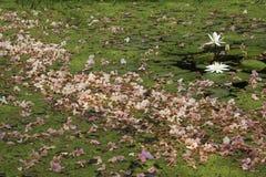 Witte lotuses Royalty-vrije Stock Fotografie