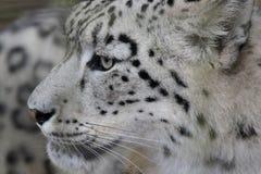 Witte Luipaard Stock Fotografie