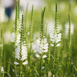 Witte Lupine Royalty-vrije Stock Afbeelding