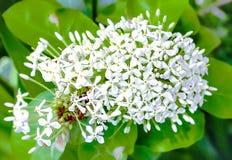 Witte Lxora-bloem met selectieve nadruk Stock Foto