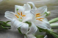 Witte Madonna-leliebloem, stock afbeeldingen