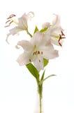 Witte madonnalelie Royalty-vrije Stock Afbeelding