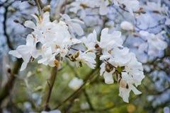 Witte magnolia Royalty-vrije Stock Afbeeldingen