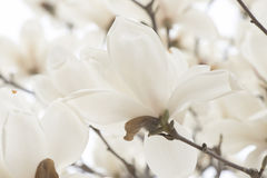 Witte magnolia stock afbeelding