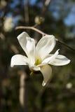 Witte magnolia royalty-vrije stock foto's