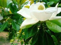 Witte magnolia Royalty-vrije Stock Foto