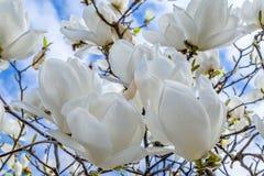 Witte magnolia Royalty-vrije Stock Afbeelding