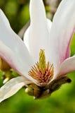 Witte magnolia binnen. Stock Foto