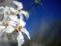 Witte magnolia in bloei tegen de blauwe hemel. Royalty-vrije Stock Fotografie