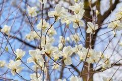 Witte magnolia bloeiende achtergrond Botanische achtergrond Stock Foto's