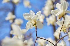 Witte magnolia bloeiende achtergrond Botanische achtergrond stock afbeeldingen