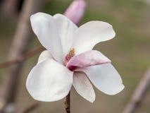 Witte magnolia in de lenteclose-up stock afbeeldingen