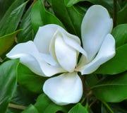 Witte Magnolia op een achtergrond van groene bladeren stock fotografie