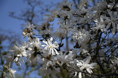 Witte magnolia tegen de blauwe hemel Stock Foto