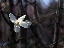 Witte magnoliabloem Stock Foto