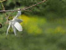 Witte magnoliabloem Royalty-vrije Stock Fotografie