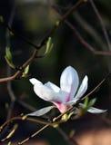 Witte magnoliabloem onder de lentezonneschijn royalty-vrije stock afbeeldingen
