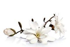 Witte magnoliabloemen Royalty-vrije Stock Foto