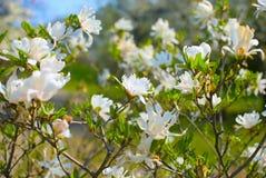 Witte magnoliabloemen stock afbeeldingen