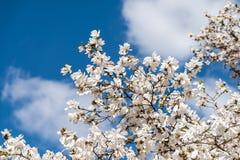 Witte magnoliabloemen royalty-vrije stock afbeeldingen