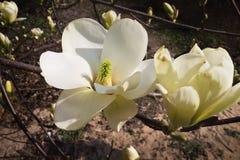 Witte magnoliabloemen Stock Foto's