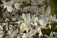 Witte magnoliabloemen Stock Foto