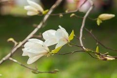 Witte magnoliabloemen Bloeiende magnoliaboom in de lente Stock Foto