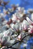 Witte magnoliabloemen in de lente Stock Foto