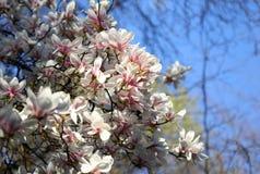 Witte magnoliabloemen in de lente royalty-vrije stock afbeeldingen
