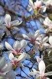 Witte magnoliabloemen onder de lentezonneschijn stock foto's